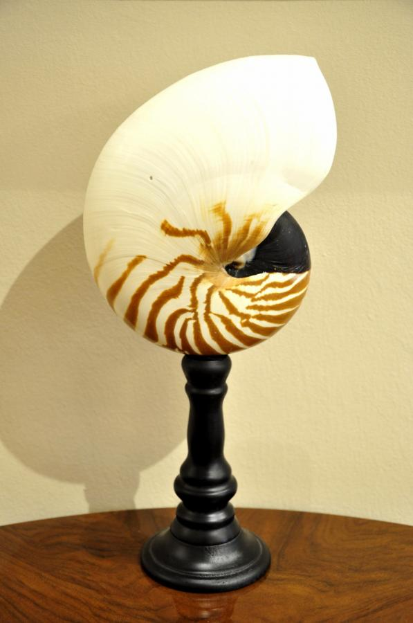 Important Nautilus On Wooden Stand Black , More Informations...