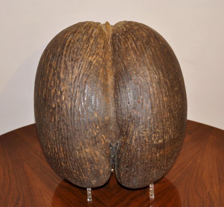 COCO FESSE Espèce endémique origine des Iles Seychelles, Plus d'infos...